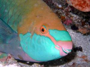 parrot-fish-01